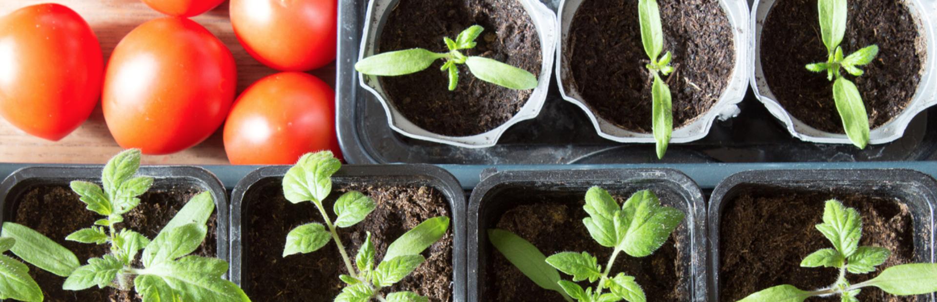 La maison est mon jardin: comment planter ses tomates sur son balcon?